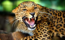 Jaguar roaring Animal HD Wallpaper 1269