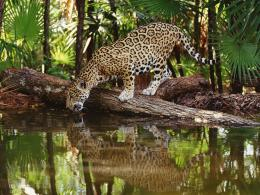 jaguar wild animals african wallpaper widescreen Hd Wallpapers 1301
