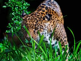 Jaguar Animal HD Wallpapers | Jaguar Animal Pictures | Cool Wallpapers 1912