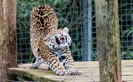 Jaguar Animal HD Wallpapers 1650