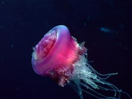 Beautiful Dangerous Jellyfish Animal Safaris 1299