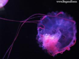 You are viewing the Jellyfish wallpaper named Jellyfish 2 708
