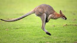 Kangaroo HD Wallpapers | Kangaroo Pictures | Cool Wallpapers 344