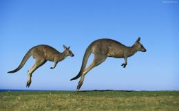 Kangaroo HD Wallpapers | Kangaroo Pictures | Cool Wallpapers 303