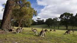 Kangaroos eating grass in the field 1037