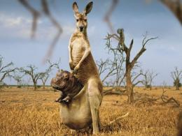 HD Wallpapers » 1600x1200 » Animals » Happy Kangaroo Full HD Free 895