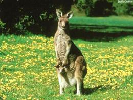 Kangaroo Cub The Free HD Wallpaper 1575