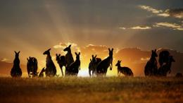 HD BackgroundAnimal Kangaroo Wallpaper 1608