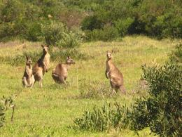 kangaroo hd wallpapers kangaroo hd wallpapers kangaroo hd wallpapers 422