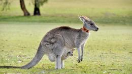 Kangaroo HD Wallpapers | Kangaroo Pictures | Cool Wallpapers 1693