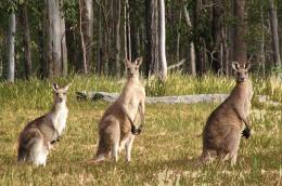 Kangaroo Wallpapers and Pictures in HD 1531