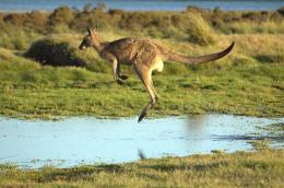 Kangaroo HD Wallpapers | Kangaroo Pictures | Cool Wallpapers 747