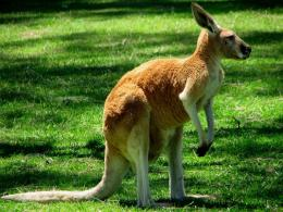 Kangaroo HD Wallpapers 1885