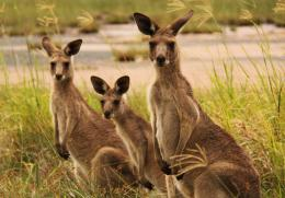 Kangaroo HD Photo 1 770