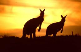 Australian Kangaroo photos, wallpapers 1747
