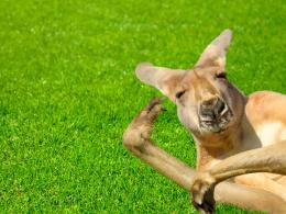 Divertente Kangaroo HD Wallpaper 1638