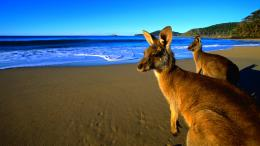 PhotosAnimalsKangaroo Photo CollectionKangaroos HD Wallpaper 809