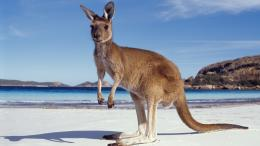 Kangaroo HD Wallpapers | Kangaroo Pictures | Cool Wallpapers 792
