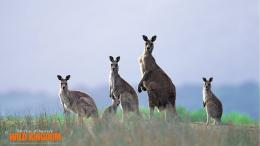 Kangaroo Wallpaper High Definition 730