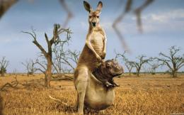 Kangaroo HD Wallpapers | Kangaroo Pictures | Cool Wallpapers 1471