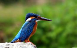 Kingfisher 987