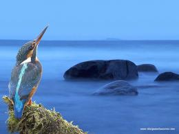 wallpaper kingfisher wallpaper kingfisher jpg 871
