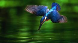 Kingfisher Bird Diving into Water Wallpaper picture 633