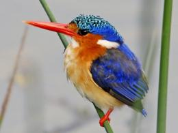 Kingfisher Birds 1187
