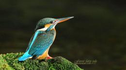 Kingfisher Birds HD Wallpapers 1002