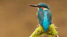 Blue Kingfisher Bird HD Wallpapers 1480