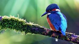 download kingfisher bird wallpaper tags kingfisher bird branch feather 1559