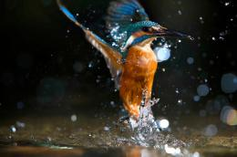 Kingfisher Birds 322