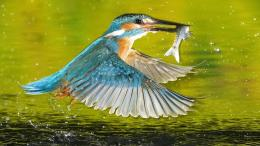Kingfisher Bird HD Wallpaper | Kingfisher Bird Images | Cool 644