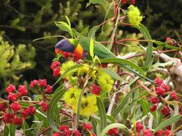 Download Lorikeet In Flowering Gum wallpaper 1582