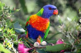 The Rainbow Lorikeet HD Wallpapers And Taxonomy 774