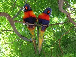 moluccanus rainbow lorikeet bird hd wallpapers free download 1589