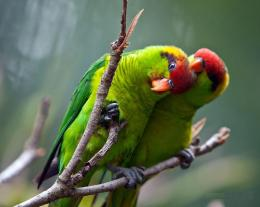 Lorikeet Bird HD Wallpapers 955