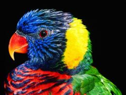 tags 1600x1200 lorikeet bird free lories and lorikeets parrot bird 1773