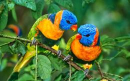 Lorikeet Bird HD Wallpapers 1334