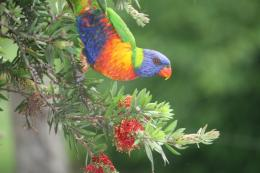 rainbow lorikeet parrot bird hd wallpapers free download birds 450