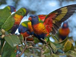 Lorikeet Bird HD Wallpapers 1816
