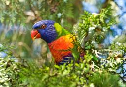Rainbow Lorikeet Parrot HD Wallpapers 1189