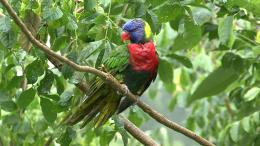 rainbow lorikeet parrot bird hd wallpapers free download birds 246