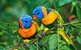 1920x1200 lorikeet bird fullscreen lories and lorikeets parrot bird 1328