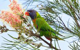 Download Rainbow Lorikeet wallpaper 292