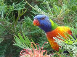 Lorikeet Bird HD Wallpapers 1319