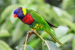 Lorikeet Bird HD Wallpapers 1992
