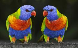 lorikeet bird wallpaper lovely rainbow lorikeet parrot wallpaper 1383