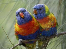 Rainbow Lorikeet Beautiful Wallpapers 239
