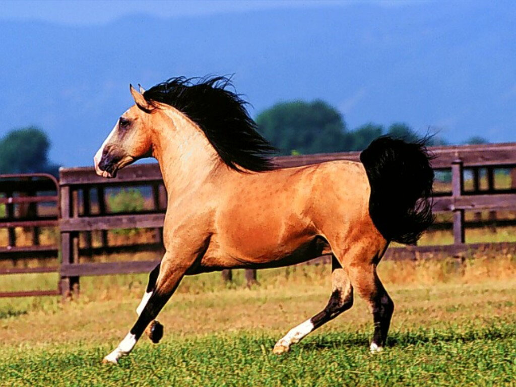 Lusitano Horse Wallpapers 404